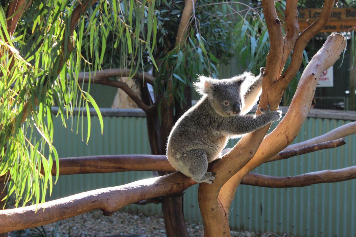 Zehntausende Koalas befinden sich bereits in Rettungsstationen.