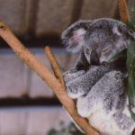 Wolters spendet für Koalas in Australien